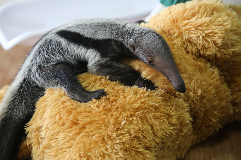 2_Beanie - baby giant anteater (c) ZSL London Zoo (2)