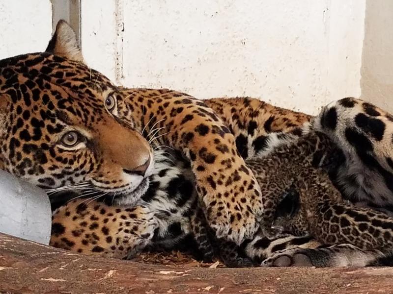 3_Elmwood Park Zoo - Inka and Cubs Nursing