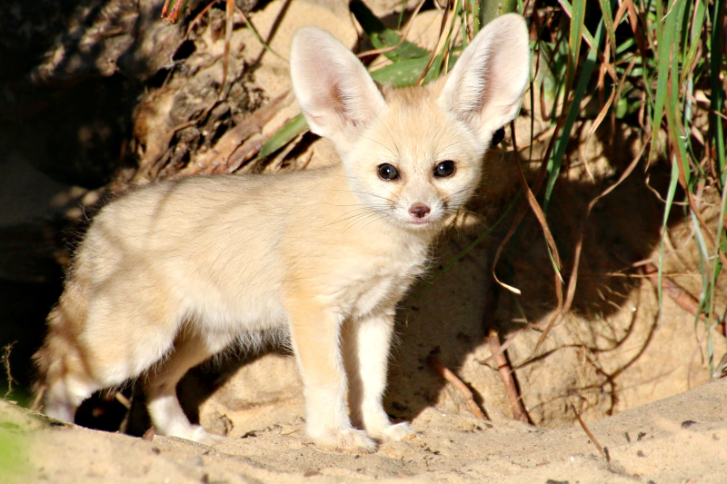 Fennec Fox Kit 3_Photo by Paul Fahy
