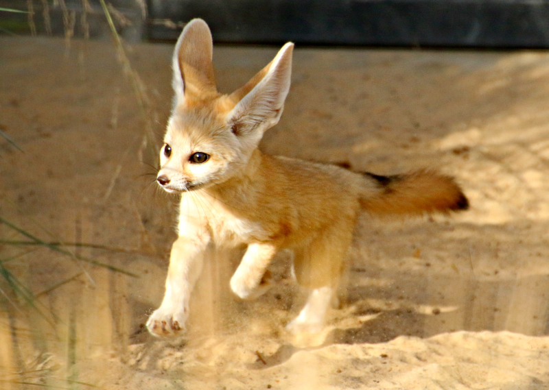 Fennec Fox Kit 5_Photo by Paul Fahy