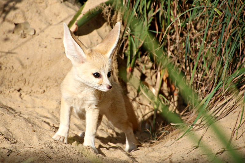 Fennec Fox Kit 7_Photo by Paul Fahy