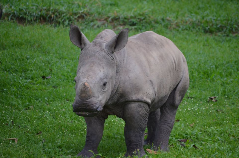 2_New Rhino baby at Ziwa1