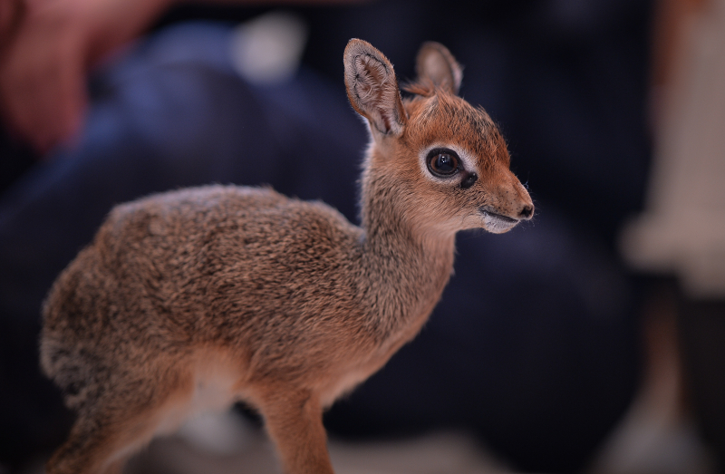 Keepers step in to hand-rear orphaned baby dik dik antelope at Chester Zoo (19)