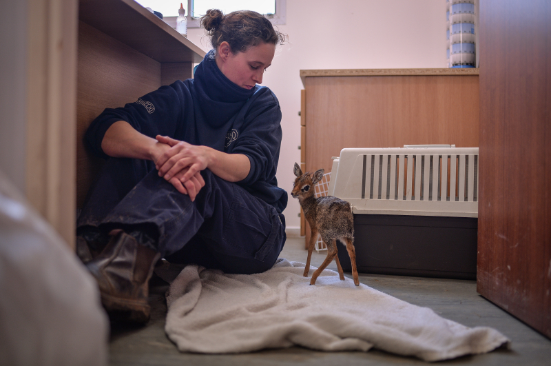 Keepers step in to hand-rear orphaned baby dik dik antelope at Chester Zoo (3)