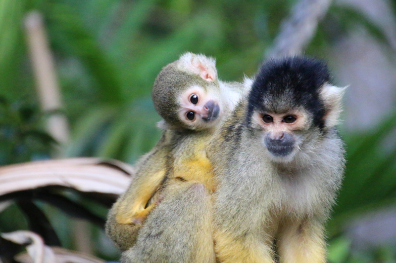 7_Squirrel Monkeys 15_Photo by Paul Fahy