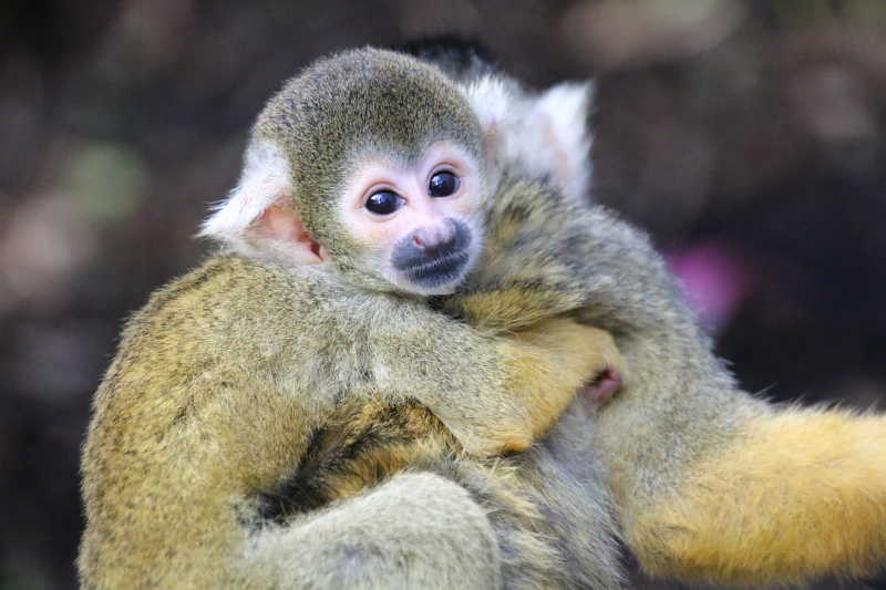 9_Squirrel Monkeys 14_Photo by Paul Fahy