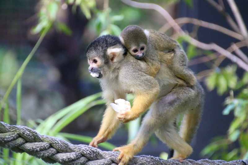 12_Squirrel Monkeys 17_Photo by Paul Fahy