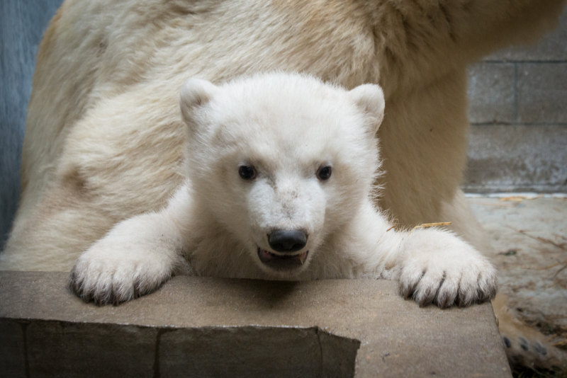 1_Anana's_Polar Bear Cub 5439 - Grahm S. Jones, Columbus Zoo and Aquarium