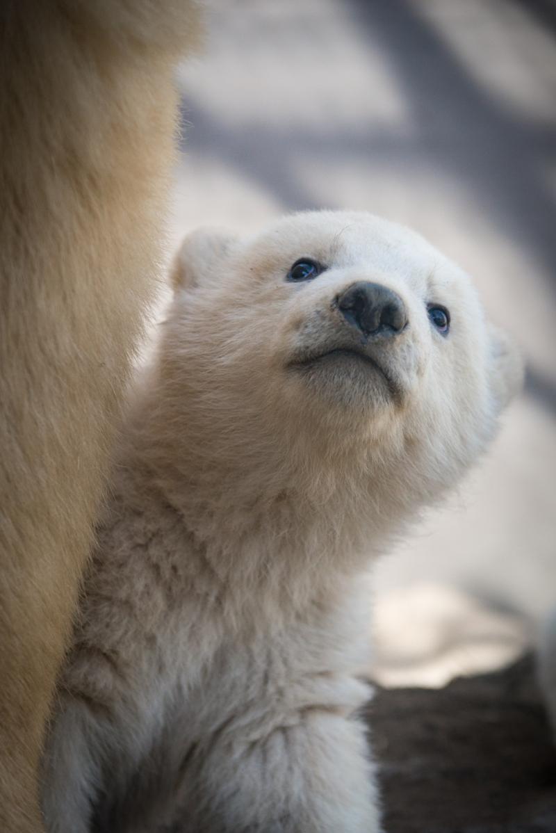 11_Aurora's Polar Bear Cubs 6128 - Grahm S. Jones, Columbus Zoo and Aquarium