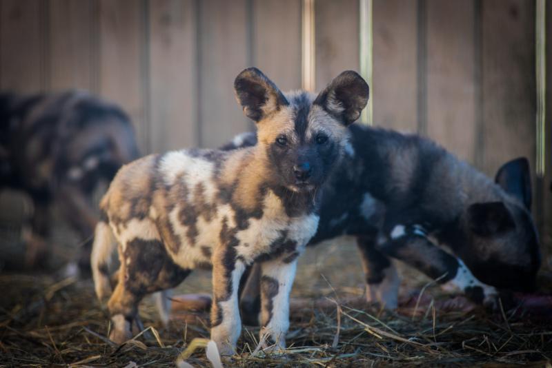 1_African Painted Dogs 7590 - Grahm S. Jones, Columbus Zoo and Aquarium