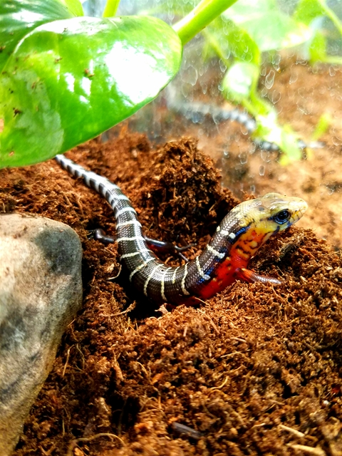 1_7_central_american_giant_galliwasp-_hatchling