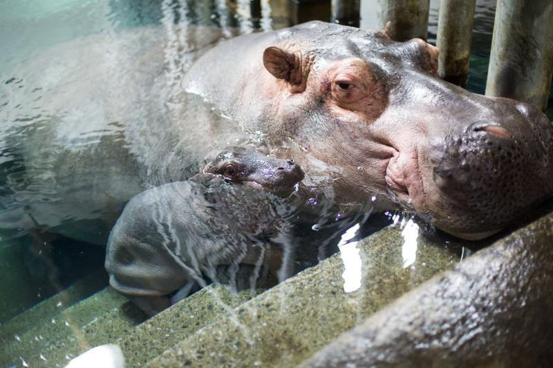 6_Hippo_naissance_7