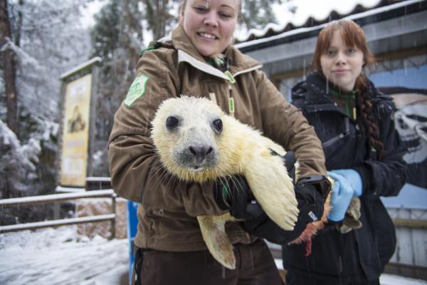 Baby Boom of Baltic Grey Seal Pups at Kolmården