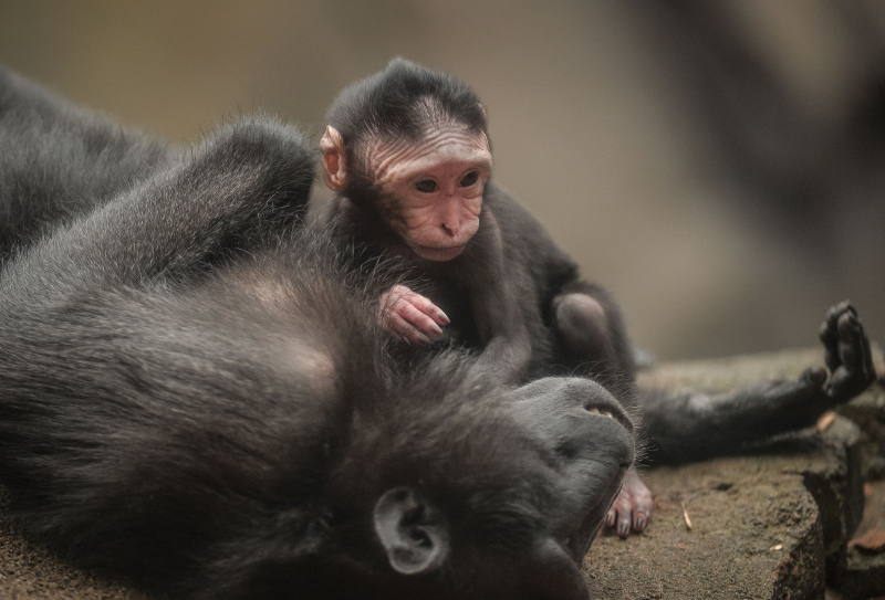 Baby Sulawesi macaque Amidala born to mum Lisa at Chester Zoo (1)