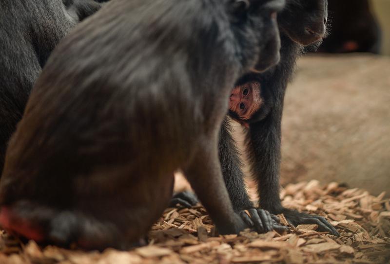 Baby Sulawesi macaque Amidala born to mum Lisa at Chester Zoo (12)