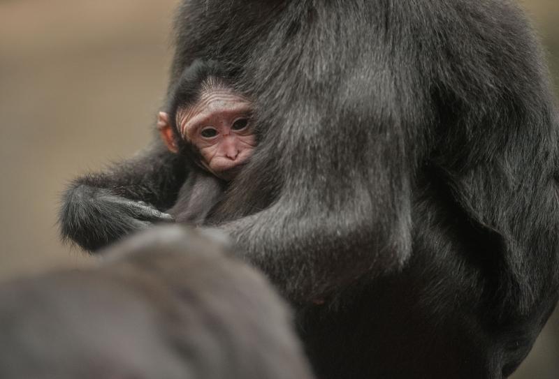 Baby Sulawesi macaque Amidala born to mum Lisa at Chester Zoo (17)