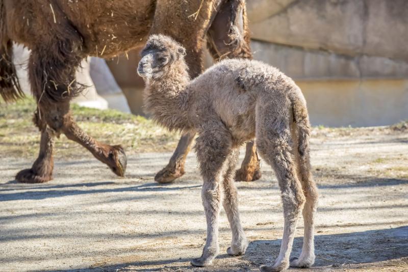 1_Camel Baby 03-2017-1440 E