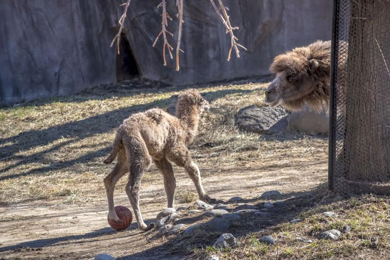 3_Camel Baby 03-2017-1415 E