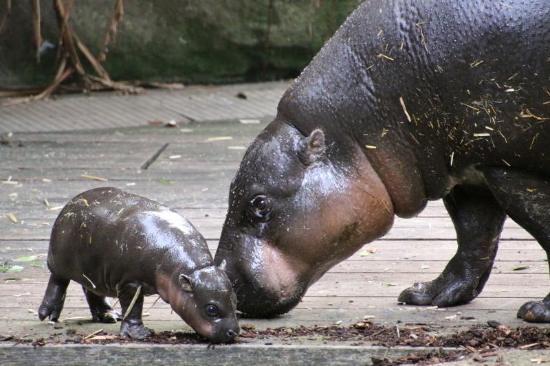 2_Pygmy Hippo Calf 9_Photo by Paul Fahy
