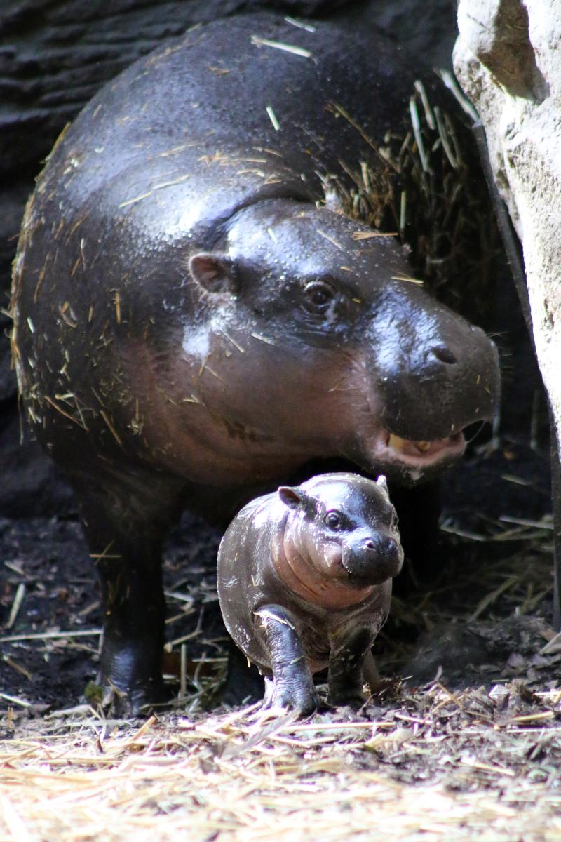 3_Pygmy Hippo Calf 3_Photo by Paul Fahy