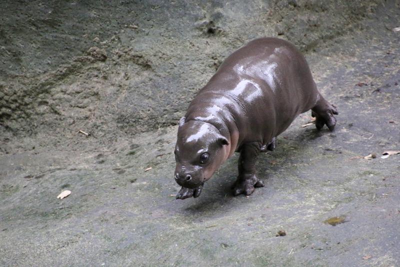 6_Pygmy Hippo Calf 10_Photo by Paul Fahy