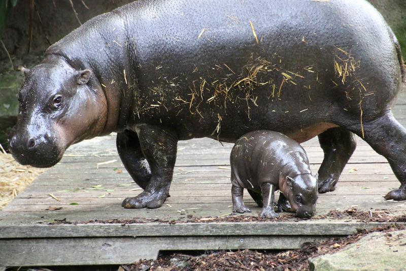 14_Pygmy Hippo Calf 8_Photo by Paul Fahy