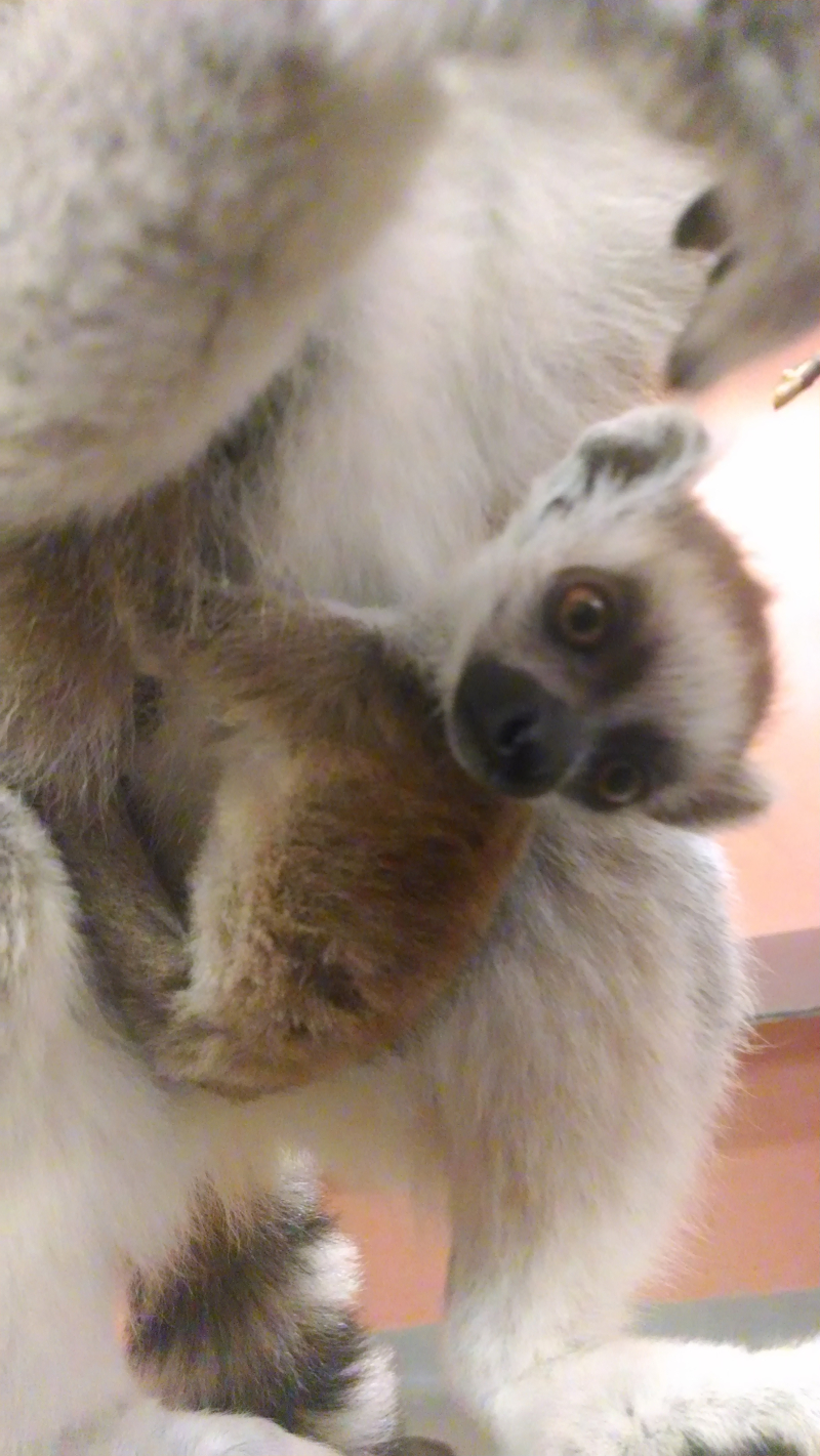 1_IMG_20170301_151346508 Lemur male Han 3