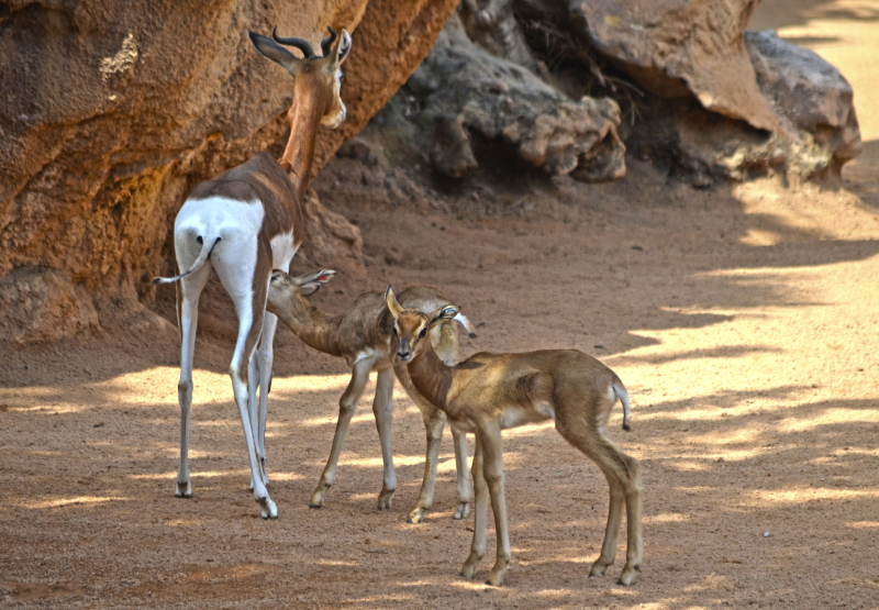 3_Crías de gacela Mhorr en la Sabana africana de BIOPARC Valencia - marzo 2017 (2)