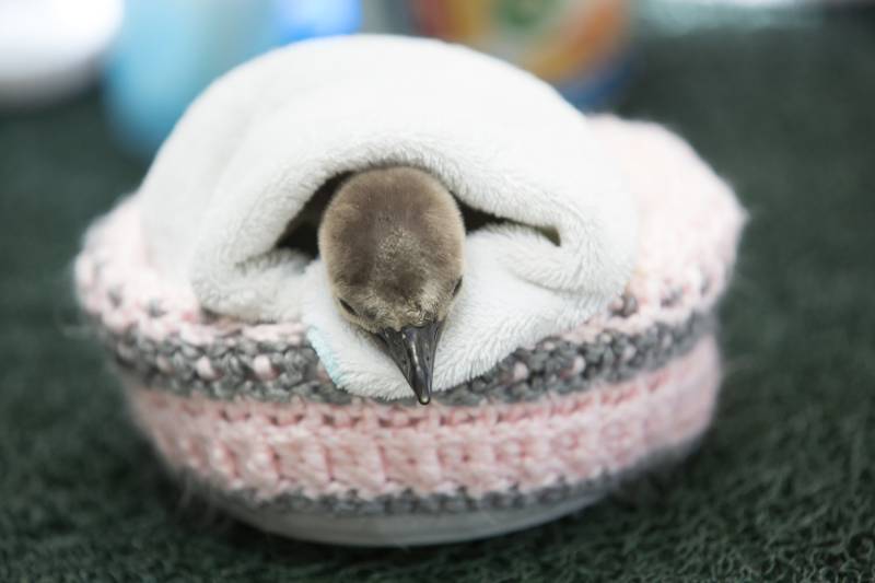 2_RS32576_2017_03_23 penguin chick #60-4-phi