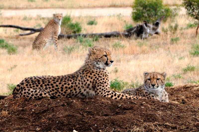 3_Cheetah - photo credit Geoff Brooks  Zoos SA