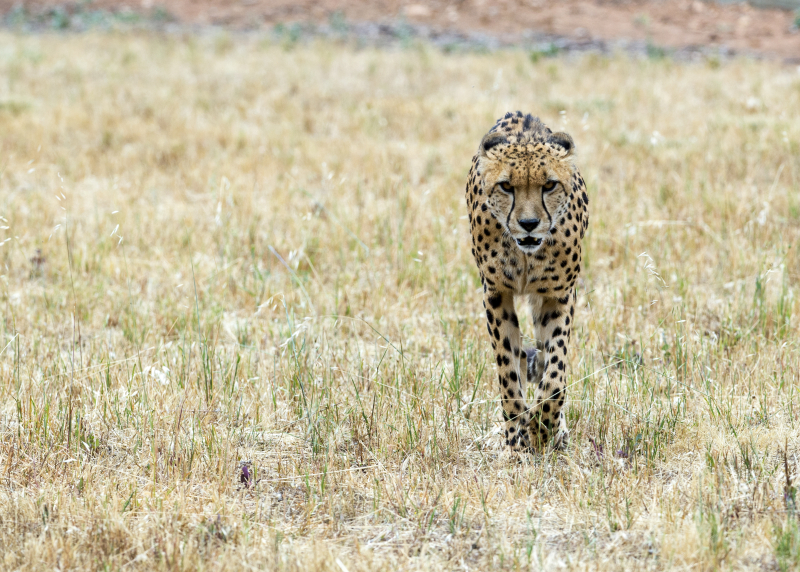 4_Cheetah - Father of cubs  Innis. Photo credit Adrian Mann  Zoos SA