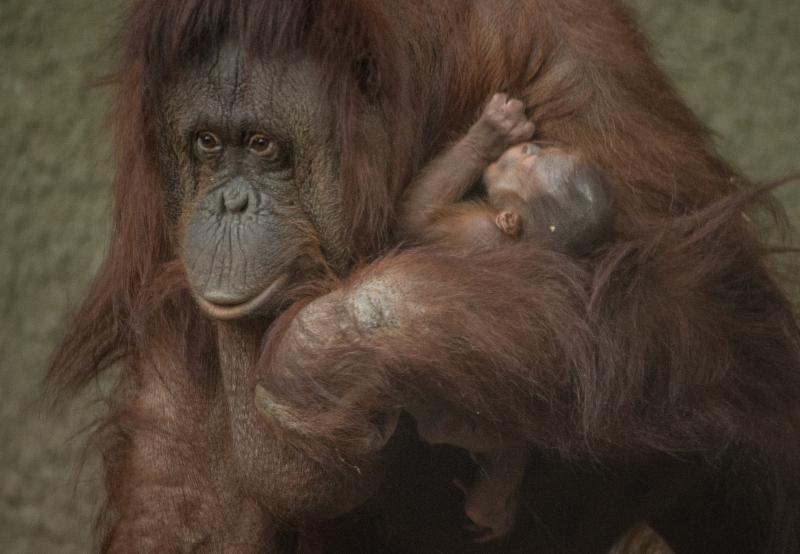 5_First Bornean orangutan born in almost a decade at Chester Zoo (10)
