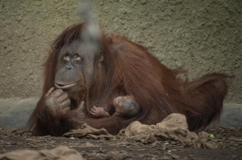 6_First Bornean orangutan born in almost a decade at Chester Zoo (2)