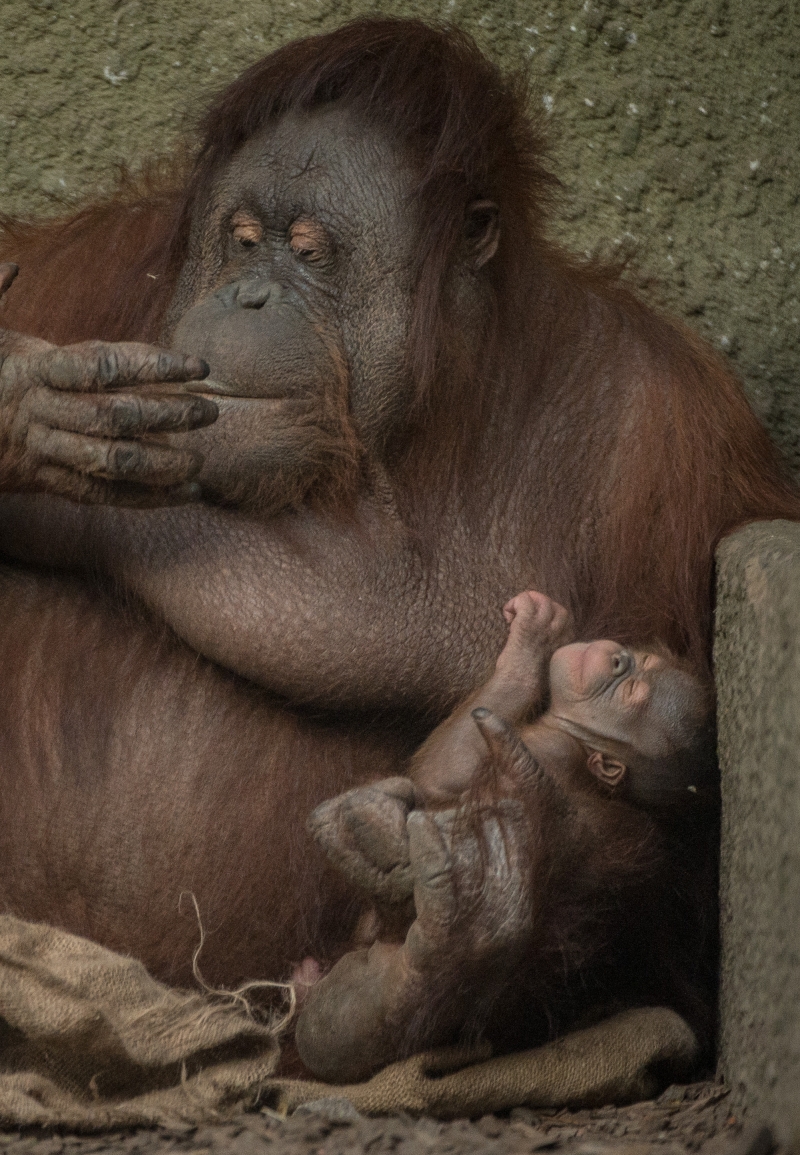 7_First Bornean orangutan born in almost a decade at Chester Zoo (7)