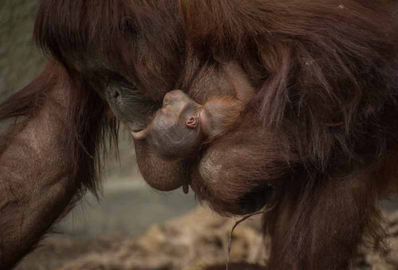 8_First Bornean orangutan born in almost a decade at Chester Zoo (1)