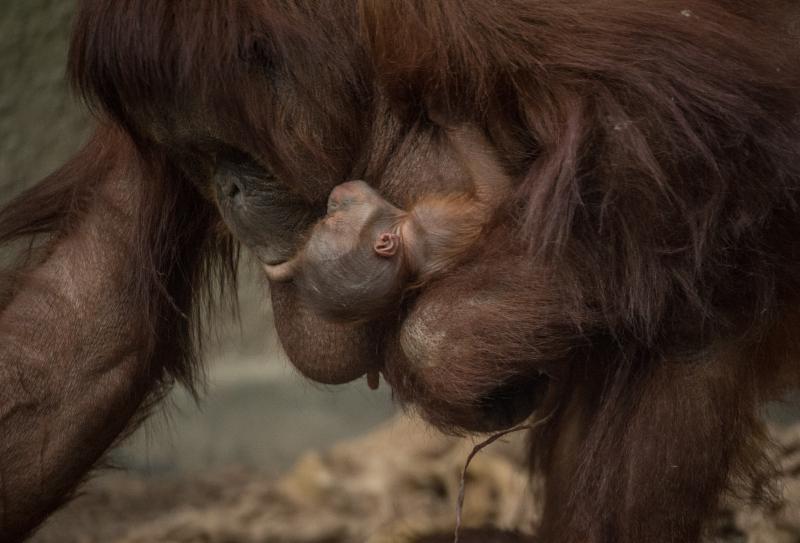 8_First Bornean orangutan born in almost a decade at Chester Zoo (1)