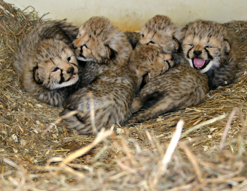 Cheetah-cubs_hope-2017-sbi