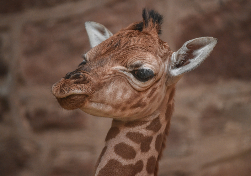 2_Giraffe calf born at Chester Zoo - first pictures (4)