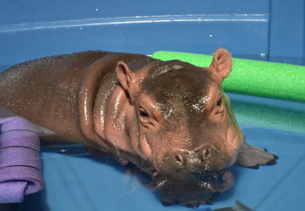 Fiona The Hippo Moves To The Big Pool Zooborns