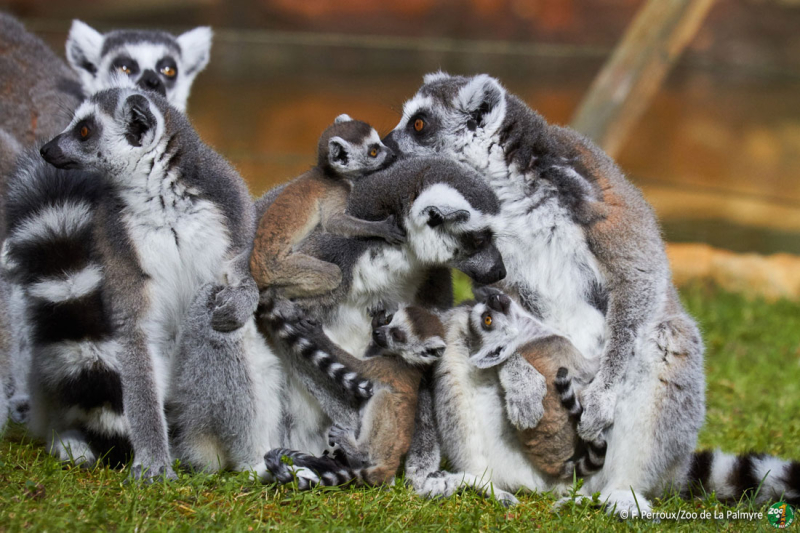Three Ringed Lemur