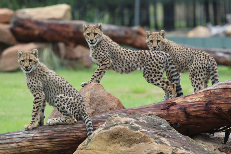 Cheetah cubs on exhibit April 2017 SM (17)