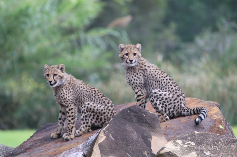 Cheetah cubs on exhibit April 2017 SM (13)