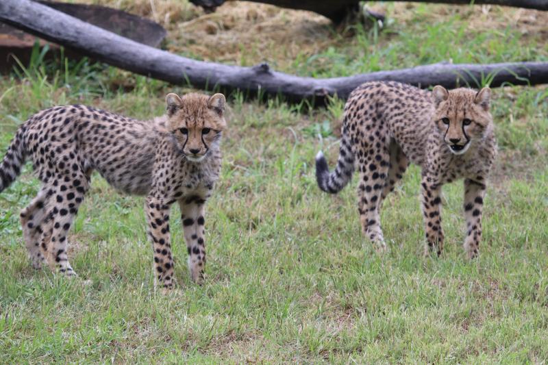 Cheetah cubs on exhibit April 2017 SM (2)
