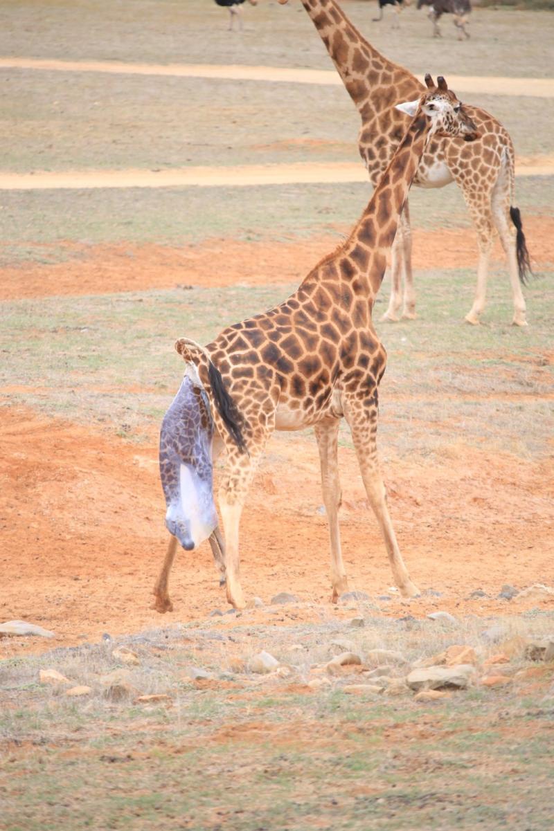 Mum giving birth. Photo credit Simon Dower  Zoos SA