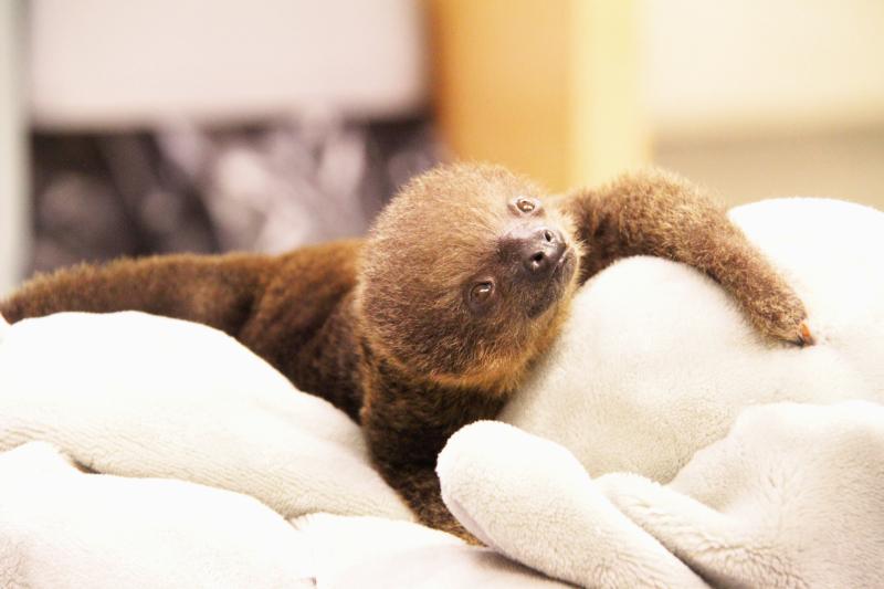 Baby-Sloth-3