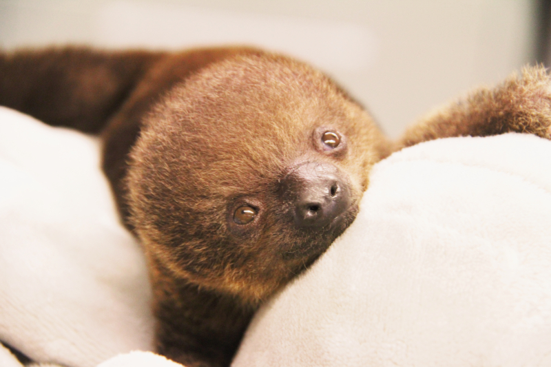 Baby-Sloth-5