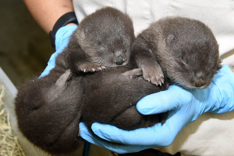 1_North American river otter pups (18 days old)-2