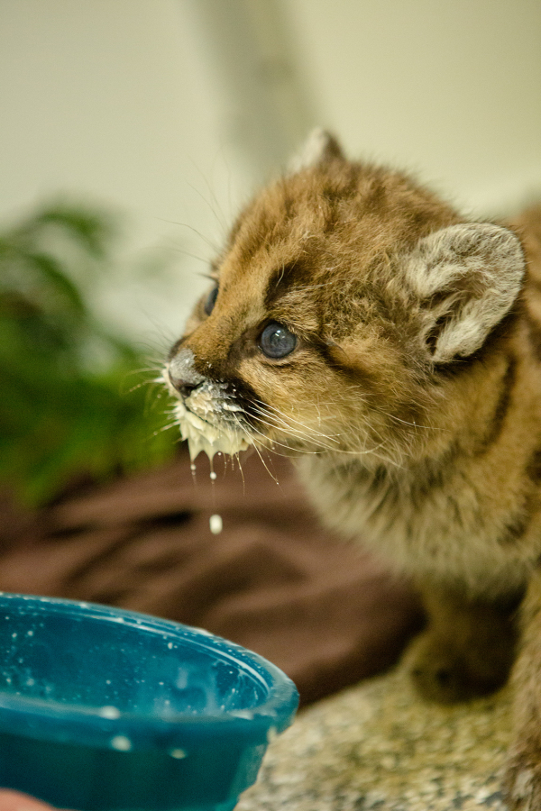 Oregon Zoo Fosters Orphaned Cougar Cub