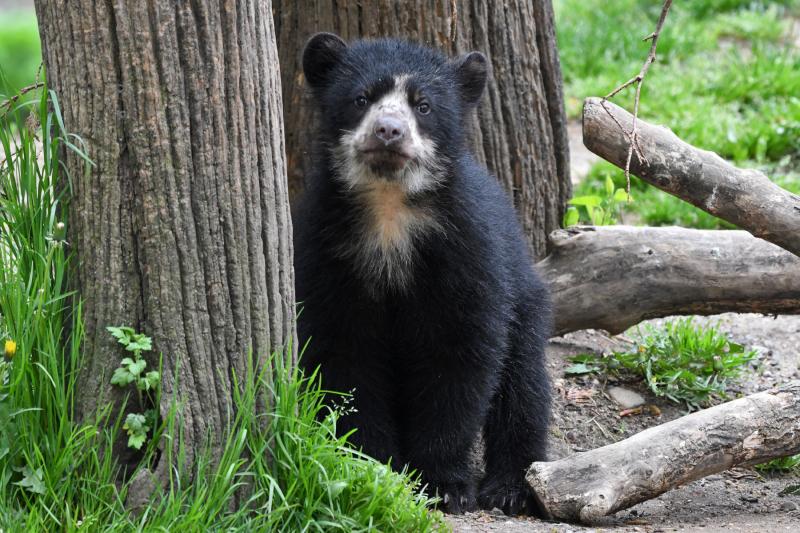 1_Megan Maher_4135_Andean Bear Cub_QZ_05 01 17
