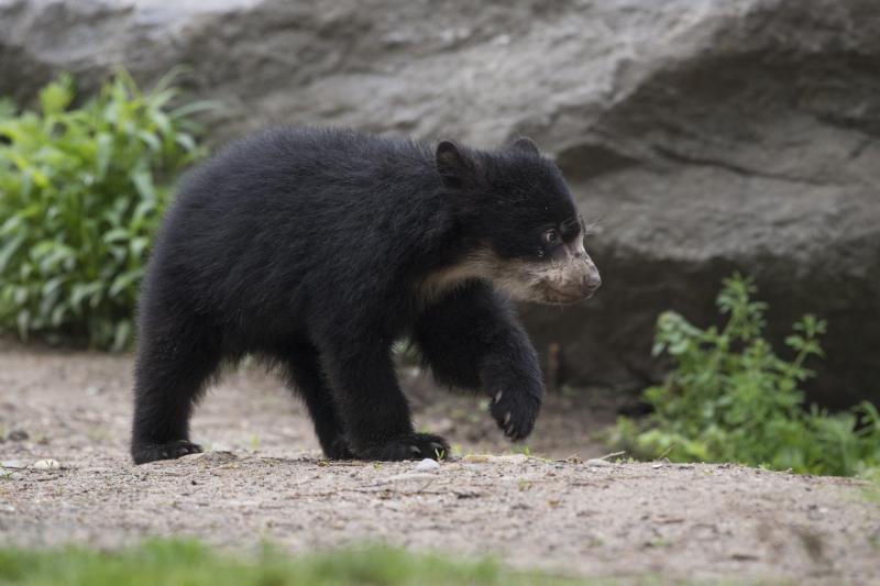 4_Julie Larsen Maher_1638_Andean Bear and Cub_QZ_05 01 17
